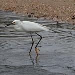 Snowy Egret - Captree, Long Island thumbnail