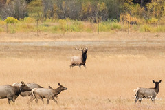 Young Elk bull rounds up the ladies