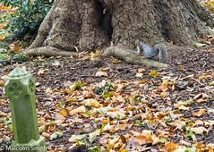 Graveyard Squirrel (M C Smith) Tags: graveyard pentax k3ii squirrel leaves ivy green grave stonework brown