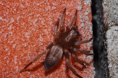 Arachtober 13 (Procrustes2007) Tags: spider clubiona arachnid clubionacorticalis sacspider arachtober nikond50 nikkor50mmais tamron2xteleconverter vivitarextensionrings68mmtotal flash greatcornard suffolk uk britain england gridreftl883407 macro