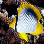 Black-backed Butterflyfish, juvenile - Chaetodon melannotus thumbnail