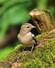 Watersmeet Wildlife (Treflyn) Tags: female chaffinch crumbs national trust watersmeet house café wildlife
