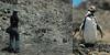 Behind the scene (Javiera C) Tags: chile atacama parquenacional nationalpark naturaleza nature backstage fauna animal photography fotografía film canonae1 pingüino penguin humboldtpenguin pingüinodehumboldt spheniscushumboldti calor hot chañaral