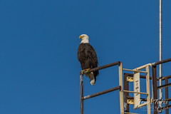 Bald Eagle hanging out at a concrete facility