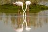 Entwined (malc1702) Tags: flamingos birds birdphotography largebirds migratorybirds reflection water longneck wildlife wildlifesanctuary wildlifephotography animals nature beautiful longlegs nikond7100 tamron150600 entwined neck