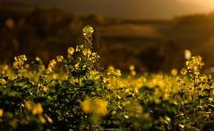 evening light in autumn (bernd obervossbeck) Tags: field autumn feld eveninglight abendlicht landscape landschaft landscapephotography landschaftsfotografie blüten blossoms coloursofautumn herbstfarben sauerland fujixt1 berndobervossbeck warmlight warmeslicht outside drausen xf55200mmf3548rlmois