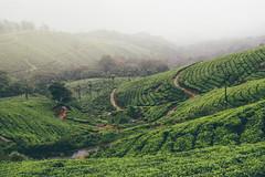 DSC_0559-edit (nesteaman2) Tags: india kerala munnar hill station mountain green tea plantation fog nature