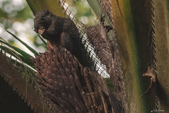 SCOIATTOLO DELLE PALME    ----    SQUIRREL OF THE PALM TREES (Ezio Donati is ) Tags: animali animals foresta forest natura nature africa costadavorio areabigerville