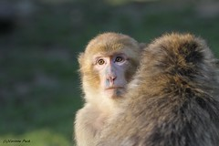Macaque de Barbarie (Passion Animaux & Photos) Tags: zoo beauval france magot macaque barbarie barbary