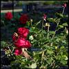 CRW_0656 (mattwardpix) Tags: roses flowers garden civicpark newcastle nsw australia square format matthewward