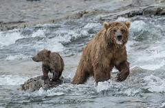 Watchful (cheryl strahl) Tags: alaska katmainationalparkandpreserve brownbear grizzlybears funnelcreek fishing salmon sockeyesalmon fear watchful apprehension nervousness