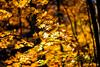 Golden Days of Autumn (moaan) Tags: towada aomori japan jp autumn fall autumncolors fallcolors autumnleaves maple mapleleaves dof bokeh bokehphotography utata 2017 canoneos5dmarkiii ef50mmf12lusm 50mm f12