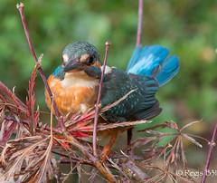 Je boude... (Régis B 31) Tags: alcedoatthis alcédinidés commonkingfisher coraciiformes jardin martinpêcheurdeurope bird oiseau