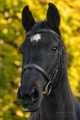 A9902545_s (AndiP66) Tags: pferde horses portraits herbst autumn warmlight warmeslicht buholz luzern schweiz switzerland sony alpha sonyalpha 99markii 99ii 99m2 a99ii ilca99m2 slta99ii tamron tamronspaf70200mmf28dildif tamron70200mm 70200mm f28 amount andreaspeters