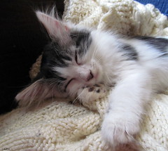 Built In Pillow (Lisa Zins) Tags: lisazins tennessee nashvillecatrescue ncr adoption petsandanimals petadoption pets cat feline kittens kitten october 2017 cute noah animal face sleeping