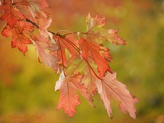 """""""I'm so glad I live in a world where there are Octobers.""""  L.M. Montgomery (NaturewithMar) Tags: leaves autumn fall colors macro october 2017 nikoncoolpix b700 7dwf monday"""