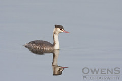 Great Crested Grebe (OwenSPhotography) Tags: wild life wildlife bird birds free nature natural water lake boating reflection reflections great crested grebe grebes young winter plumage mirror bury lancashire lancs elton resovoir raz theraz