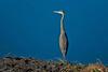 Great Blue Heron (Black Hound) Tags: sony a500 minolta bombayhooknwr bird greatblueheron