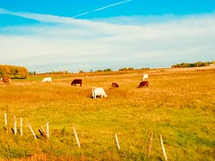 Cows (Ernest Lowe) Tags: canada country cattle agriculture field