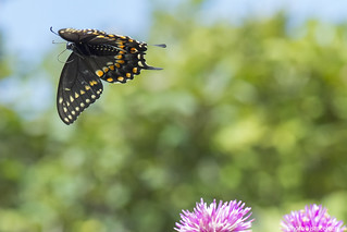 D5D_5388blackswallowtail1jsm