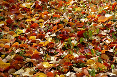 Herbstlaub (autumn leaves) (HEN-Magonza) Tags: herbst autumn botanischergartenmainz mainzbotanicalgardens flora rheinlandpfalz rhinelandpalatinate germany deutschland