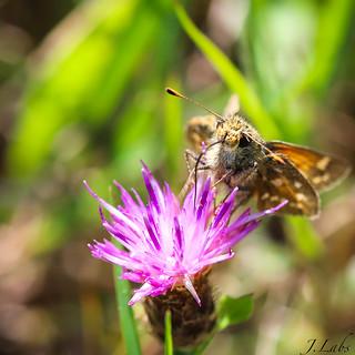 Un papillon ça trompe énormément
