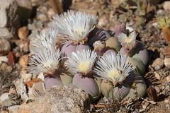 Gibbaeum heathii