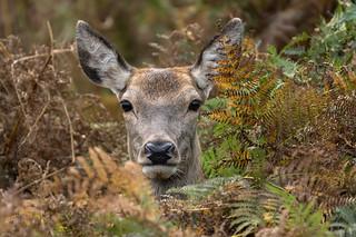 Red deer hind (Explored)
