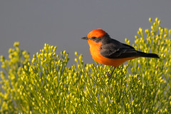 Vermillion Flycatcher (gilamonster8) Tags: yellow vermillion bird blue bokeh beyondbokeh beak bill black brown quality arizona az wing water white sky smoke explore eyes eos eat explored ef400mm56l desert color canon common red flight flickrelite fly flycatcher flower tucson tail green gray great garden grass bug ngc insect orange lake leaves park plant pollen branch brush broom