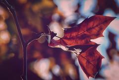 El otoño que no llega. Caravaca de la Cruz. (Miguel Angel SGR) Tags: otoño fall autumn automne autunno hojas leaves nature naturaleza luz light tones color colorful colors closeup macro feuilles caravaca caravacadelacruz murcia españa spain espagne beauty belleza outdoor exteriores miguelangelsgr miguelonphotography nikon dn nikond3000 d3000 detalles details backlight backlighting contraluz bokeh focus deepoffield dof desenfoque enfoque enfoqueselectivo trees arboles tree arbol plantas plants