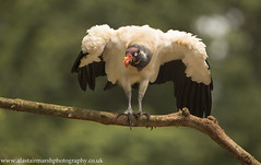 King Vulture (Alastair Marsh Photography) Tags: kingvulture vulture vultures bird birds feathers feather scavenger scavenging beak animal animals animalsintheirlandscape wildlife costarica centralamerica latinamerica caribbean rainforest rain rainfall forest