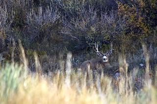 Mule Deer Buck:  Resting Undisturbed