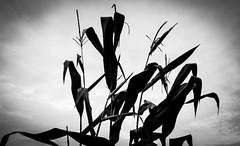 Natural-Chaos (desouto) Tags: nature corn stalks sky monochrome design chaos
