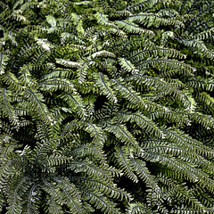 Follow the pattern (claretman1881) Tags: ferns