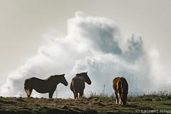 _D810242 : Les chevaux au vent (Brestitude) Tags: porspoder argenton finistère bretagne brittany horses chevaux tempête storm vague wave grosse hudge ©laurentnevo2017 brestitude brian