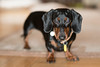 Lulu (pedro4d) Tags: nikon d800 nikkor 8514d sb900 roundflash diffusor jamnik dachshund dackel doxie jezevcik bassotto bokeh dof