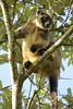 Lumholtz Tree-kangaroo (Caleb McElrea) Tags: borderfx athertontableland farnorthqueensland wettropics worldheritagearea unesco queensland tropical hot warm humid australia topend lumholtztreekangaroo treekangaroo macropod rainforest rare