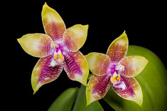 Phalaenopsis LD's Bear Queen '422-3' x Black Eagle 'DT' (david.richter) Tags: flower tropical orchids phal phalaenopsis novelty colorful imports taiwan fragrance scented