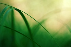 The rebar - L'armature (Philippe Meisburger Photo) Tags: armature rebar green vert nature leaf feuille blade brin herbe grass carex sedge bokeh flou blur petite camargue alsacienne feuilles leaves summer été saintlouis hautrhin alsace grand est france europe philippe meisburger 2017 seggen