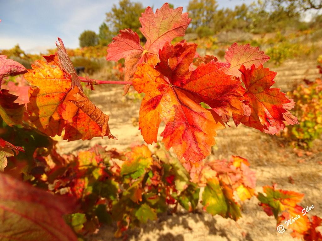 Águas Frias (Chaves) - ... folhas de videira em tempo de outono ...