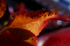 fall (nelesch14) Tags: macro nature autumn fall leaf red colours bokeh sunlight tree fading