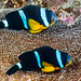 Mauritian Anemonefish, pair - Amphiprion chrysogaster