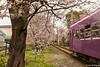 Tunel-Sakura-Kioto-Randen-41 (luisete) Tags: hanami japan randen túneldesakura tranvía tramway japón kioto kyoto