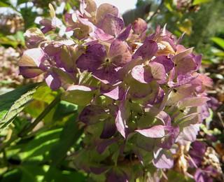 Au jardin, Hydrangea Macrophylia, Bosdarros, Béarn, Pyrénées Atlantiques, Aquitaine, France.