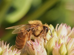 Bee doing its thing. (piranhabros) Tags: macro macrophotography plant animal insect flower bee
