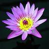 "Shades of The Lotus! (ol'pete) Tags: lotus flowers lily ponds cultivation plant breeding education researchqueensirikitbotanicgardens chiangmai thailand beautiful attraction gardens เชียงใหม่ สวน maerim แม่ริม สวนพฤกษศาตร์สมเด็จพระนางเจ้าสิริกิติ์ ประเทศไทย ""canon7dmk2"" ""earthasia"""