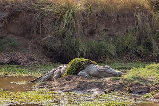 Now that's a BIG crocodile