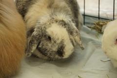 Rabbit Fest 2017 (Tjflex2) Tags: rabbit rabbitfest vancouver bc vrra bunny bunnies conejo lapin lagomorpha lagomorph cute cuddly furry fuzzy