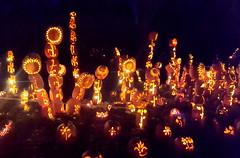 The Great Jack-O-Lantern Blaze (SurFeRGiRL30) Tags: sunflowers jackolanterns thegreatjackolanternblaze pumpkinblaze stackedpumpkins vancortlandtmanor hudsonvalleyny nighttime night glow glowing awesomesauce awesome amazing incredible
