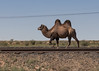IMG_3171 Baikonur (Ninara) Tags: baikonur kazakhstan kyzylorda казакстан кызылорда bactriancamel camel